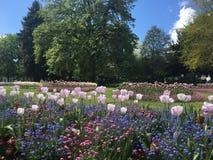 Tulipes en stationnement Images libres de droits