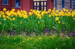 Tulipes en Terre-Neuve de St John images libres de droits