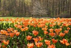 Tulipes et arbres Image libre de droits