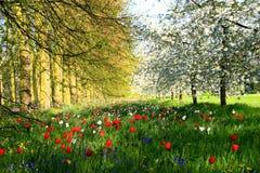 Tulipes et cerisiers de Cambridge Photographie stock libre de droits
