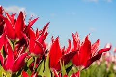 Tulipes et ciel rouges Images stock