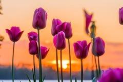 Tulipes et coucher du soleil Images libres de droits