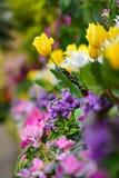 Tulipes et diverses espèces de fleurs colorées fleurissant pendant le ressort dans le domaine Wintergardens d'Auckland Images stock