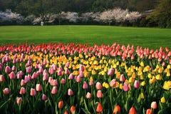 Tulipes et fleurs de cerise Image libre de droits