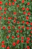 Tulipes et fleurs jardin de schez Sigurtà ' Photos stock