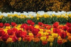 Tulipes et fleurs jardin de schez Sigurtà ' Images stock