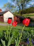 Tulipes et hangar rouges photographie stock