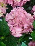 Tulipes et hortensias photo stock