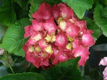 Tulipes et hortensias photographie stock