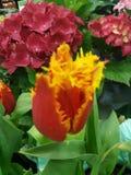 Tulipes et hortensias photos stock