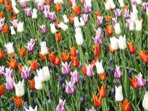 Tulipes et jacinthe de raisin Photos libres de droits
