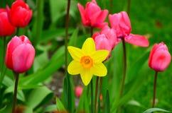 Tulipes et jardin de jonquille images libres de droits