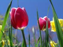 Tulipes et jonquilles photos libres de droits