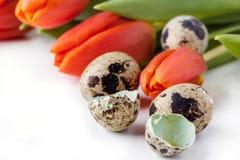 Tulipes et oeufs de caille rouges sur le fond blanc Images stock