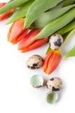 Tulipes et oeufs de caille rouges sur le fond blanc Images libres de droits