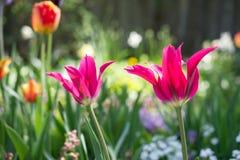Tulipes et tout autre jardin rural coloré de fleurs au printemps en tant que fond floral Photos libres de droits
