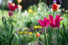 Tulipes et tout autre jardin rural coloré de fleurs au printemps en tant que fond floral Images stock