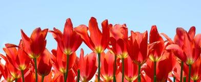 Tulipes féeriques rouges ardentes avec le ciel bleu Photographie stock