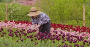 Tulipes femelles de Walking While Examining de chercheur au champ banque de vidéos