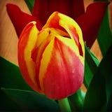 Tulipes, fin  Photographie stock libre de droits