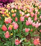 Tulipes fleurissant au printemps Photo stock