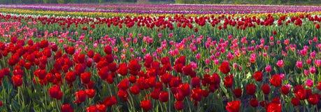 Tulipes - fleurs de ressort Photo libre de droits