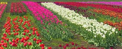Tulipes - fleurs de ressort Photos stock