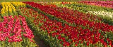 Tulipes - fleurs de ressort Images libres de droits