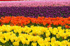 Tulipes florales abstraites de fond Image libre de droits