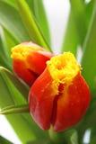 Tulipes fraîches Photos libres de droits