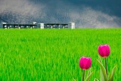 Tulipes fraîches de source avec la BG agréable Photo stock