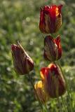Tulipes fra?ches de floraison dans la ros?e de jardin photo libre de droits