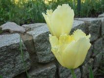 Tulipes frangées jaune pâle de floraison sur un fond en pierre de granit images stock