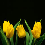 Tulipes II photo stock