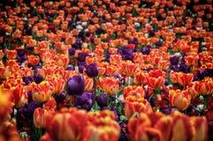 Tulipes jardin de schez Sigurtà ' Images stock