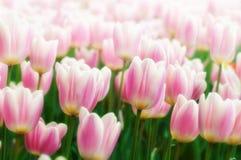 Tulipes jardin de schez Sigurtà ' Photos libres de droits