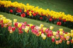 Tulipes jardin de schez Sigurtà ' Photographie stock libre de droits