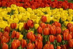 Tulipes jaune rouge et rouge Photographie stock