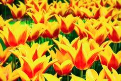 Tulipes jaune-rouges de floraison dans la pelouse, foyer sélectif, Keukenhof Photographie stock libre de droits