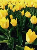 Tulipes jaunes photographie stock