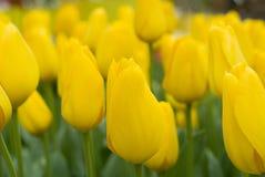 Tulipes jaunes Image libre de droits