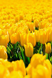 Tulipes jaunes Photos stock