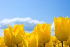 Tulipes jaunes photos stock