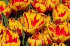 Tulipes jaunes Photographie stock
