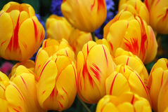 Tulipes jaunes image stock
