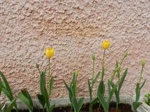 Tulipes jaunes Photo libre de droits