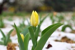 Tulipes jaunes au printemps avec la neige Photos libres de droits