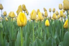 Tulipes jaunes avec la rosée Photographie stock libre de droits