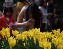 Tulipes jaunes dans le parterre image libre de droits