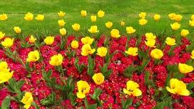Tulipes jaunes de source